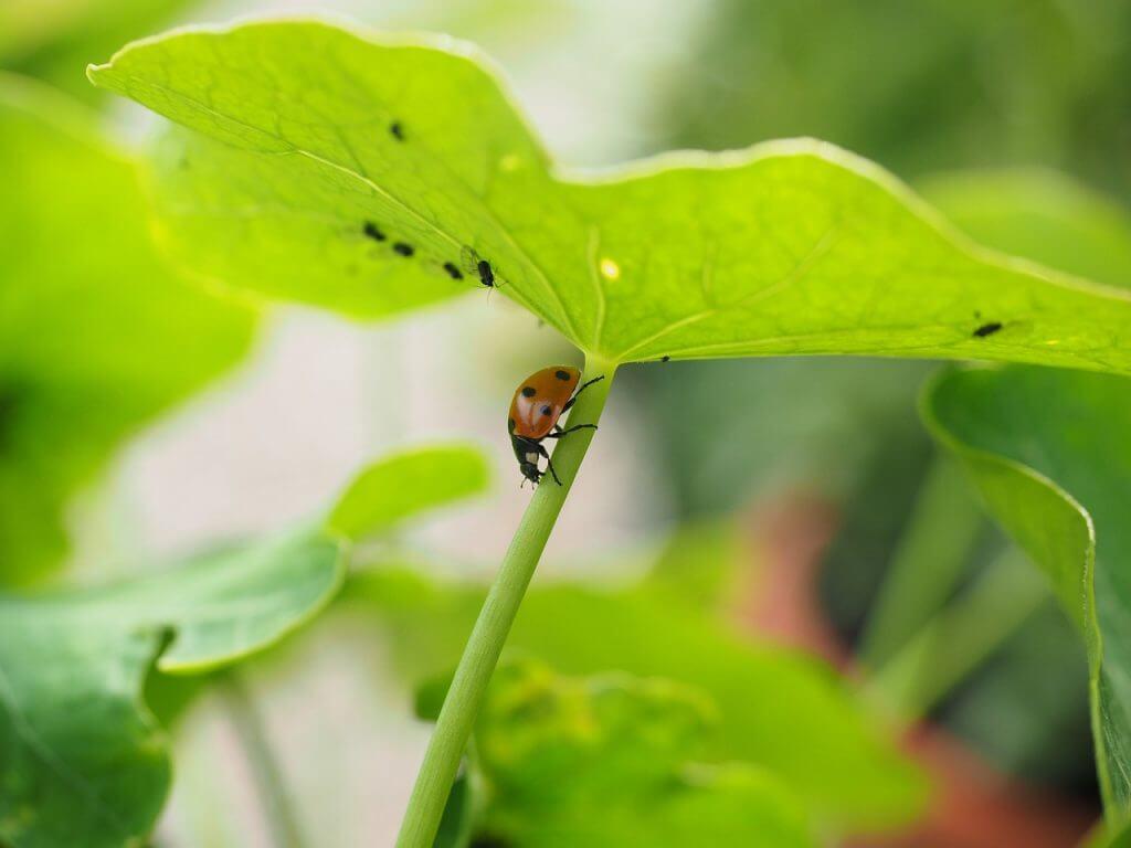 Biologische bestrijding van bladluis door parasieten en predatoren