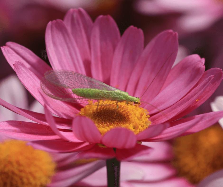 gaasvlieg op bloem
