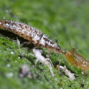 larve gaasvlieg 300x300 1