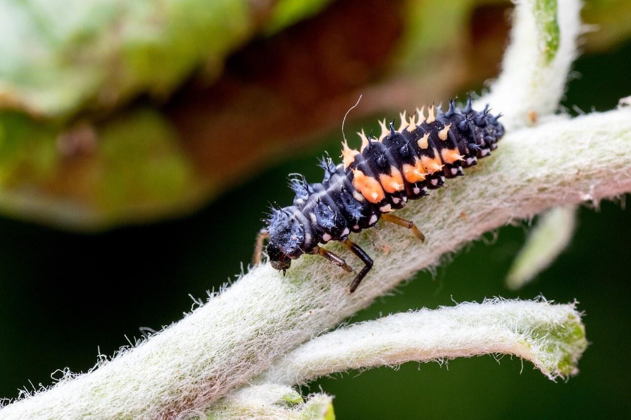 lieveheersbeestje larve tuiniernatuurlijk.nl