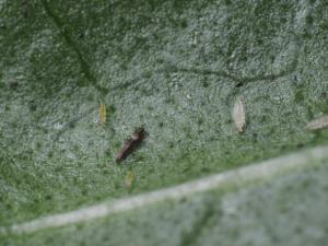 echinothrips bijgesneden biobest tuiniernatuurlijk