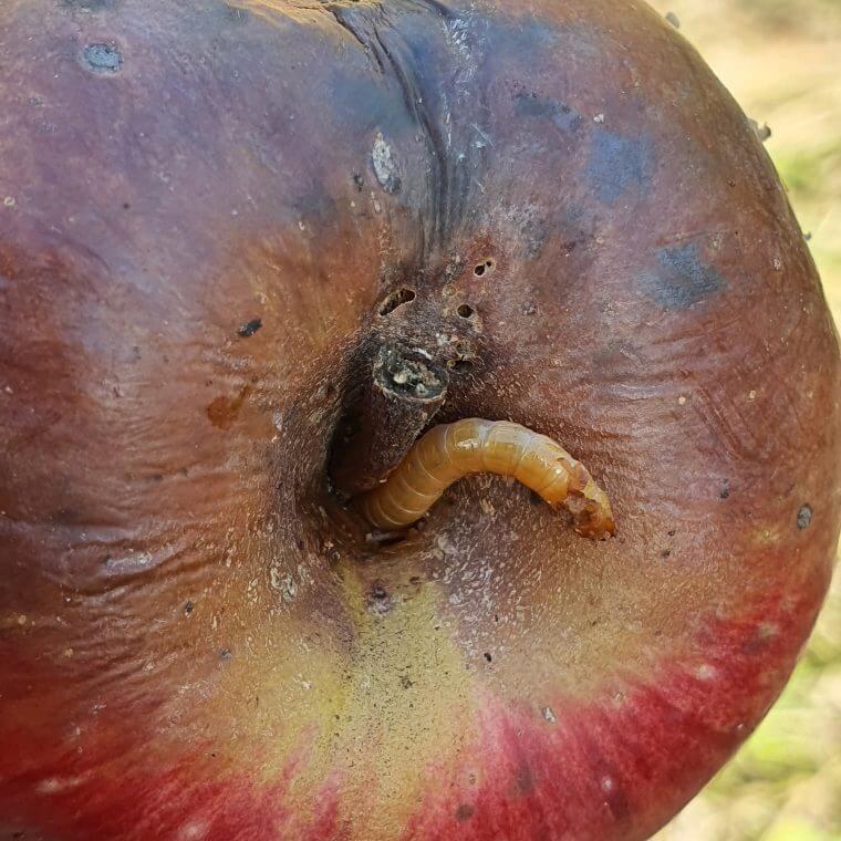 fruitmot