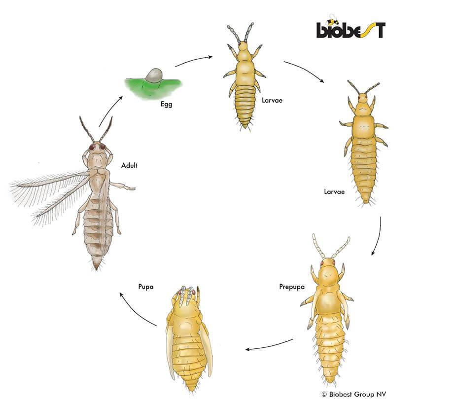 levenscyclus trips Biobest tuiniernatuurlijk